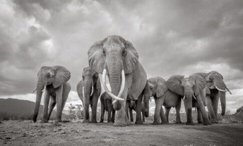 Great Elephant Matriarch