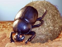 Dung Beetle / Scarab